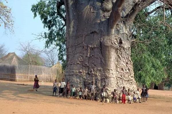 """猴面包树(adansonia digitata)是一种名副其实的""""大胖子""""."""